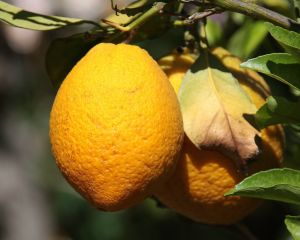 Chalk Hill Fruit.jpg