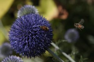 Chalk Hill Globe Thistle and Bees.jpg